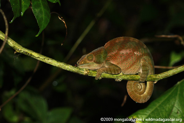 Sleeping female O'Shaughnessy's Chameleon (Calumma oshaughnessyi)