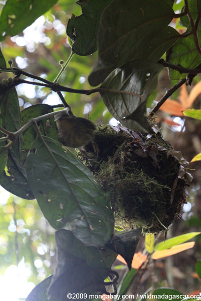 Female Velvet Asity (Philepitta castanea) flying out of her nest