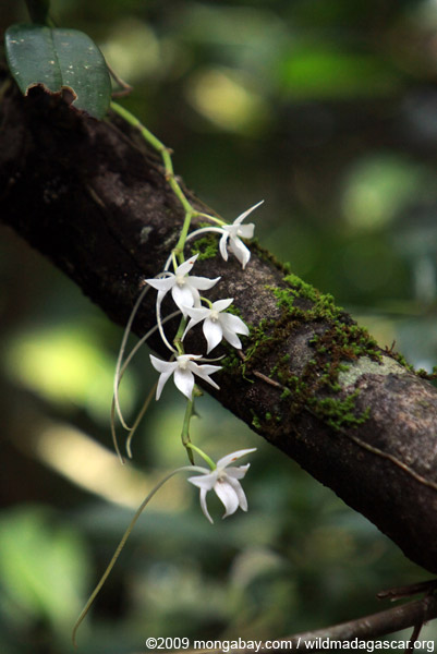 Aerangis sp. (similar to Aerangis articulata)