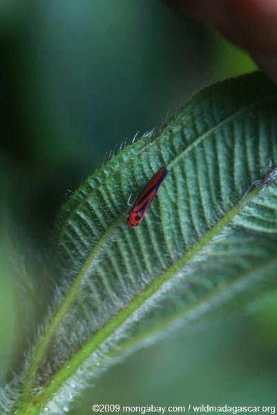 Red-orange leafhopper