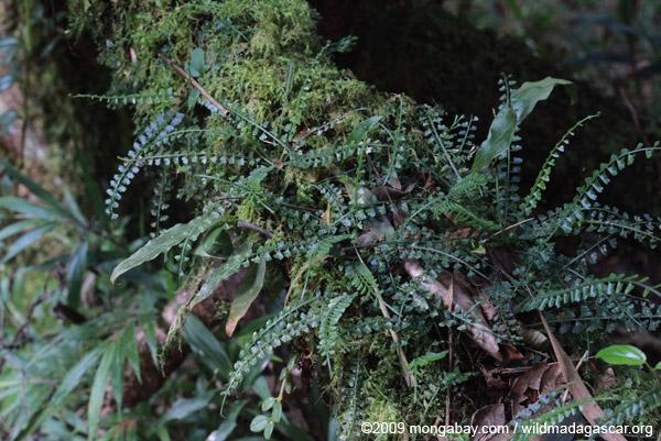 Tiny epiphytic ferns