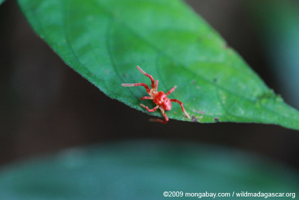 Pink and orange spider-like Acari mite (Trombidiformes order) in Ranomafana, Madagascar