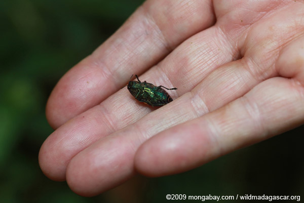 Spotted Jewel beetle (family Buprestidae, genus Polybothris)
