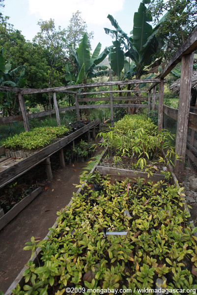 Seedlings in a nursery for reforestation