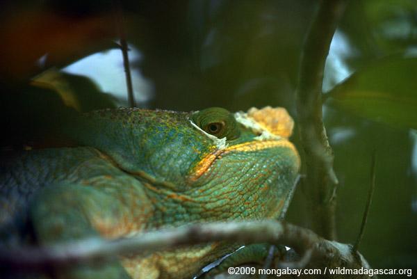 Furcifer balteatus chameleon