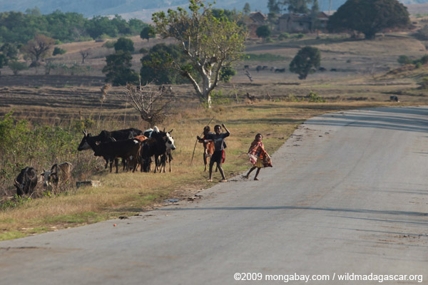 Zebu-herding boys dancing on RN7 near Anja