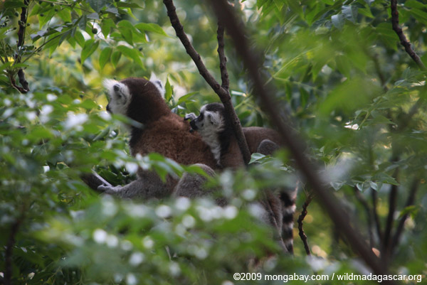 Ring-tailed lemur with baby