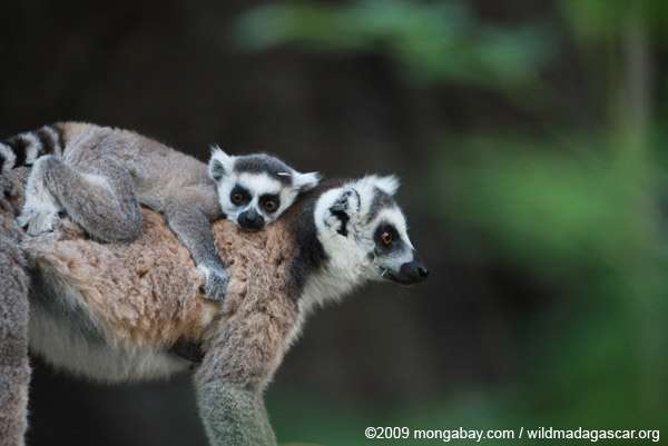 Picture: Ring-tailed l...