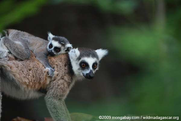 The famous ring-tailed lemur (Lemur catta) is now listed as Endangered, one of 90 lemur species currently considered threatened with extinction. Photo by: Rhett A. Butler.