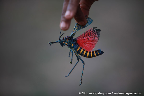 Rainbow Milkweed Locust (Phymateus saxosus), a toxic species due to its propensity to eat milkweed