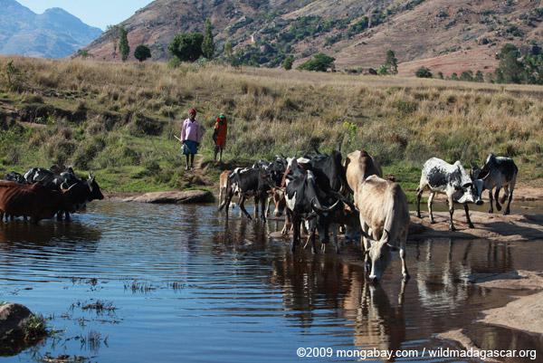 Zebu in a creek