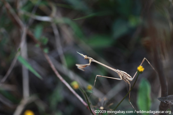 Dry grass-colored praying mantis (possibly Idolomorpha madagascariensis [Empusidae])