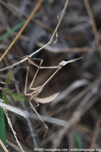 Dry grass-colored mantis (possibly Idolomorpha madagascariensis [Empusidae])