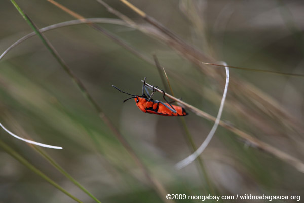 Red-orange insect (Dyserdycus genus) in the Pyrrhocoridae family (true bugs)