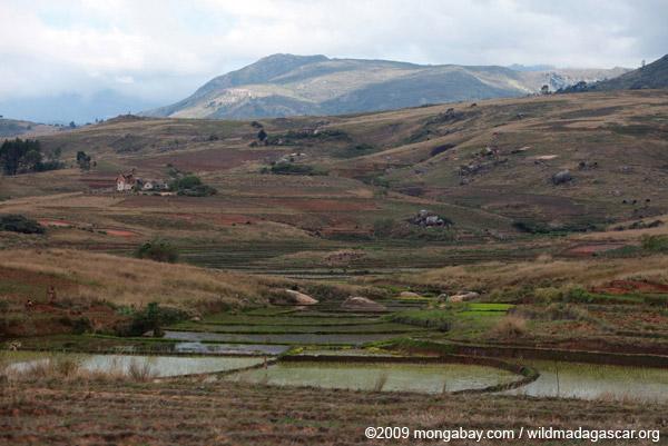 Rice fields in the Antanifotsy Valley