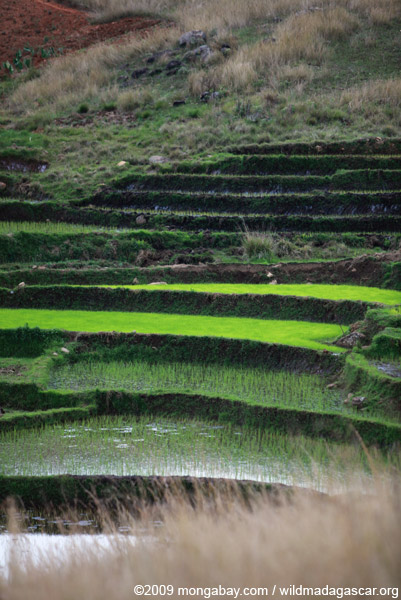 Rice fields in the Antanifotsy Valley