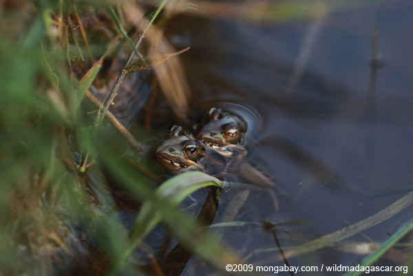 Mating frogs