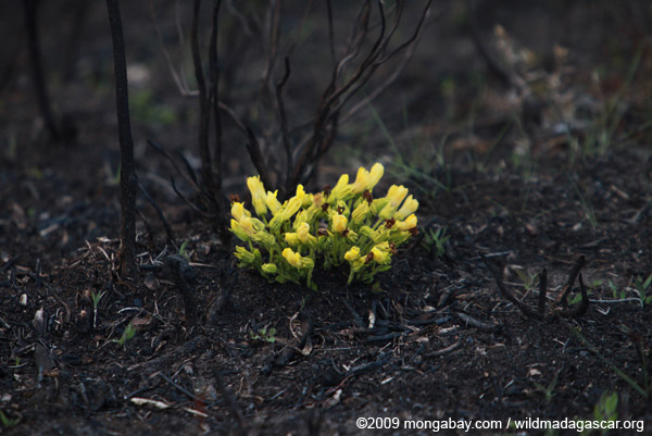 Yellow flowers emerging from charred earth
