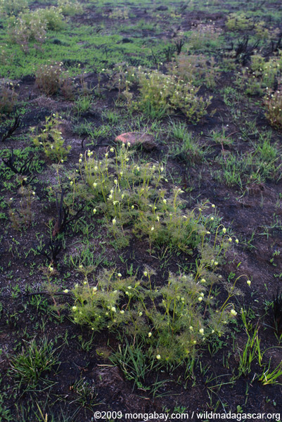 White flowers emerging from a burned grassland in Madagascar