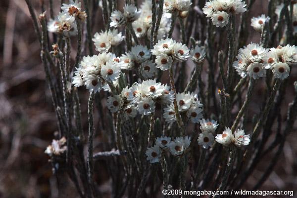 Andringitra plant