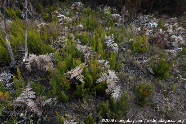 Ferns and other vegetation in Andringitra NP