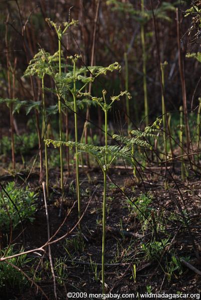 Ferns emerging from burned soil