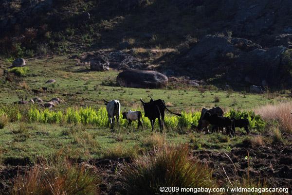 Zebu cattle in Madagascar