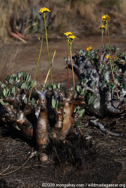 Andringitra plants