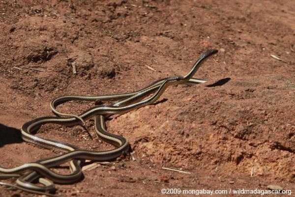 Dromicodryas bernieri snakes