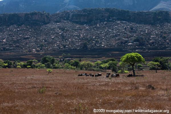 Grazing zebu cattle