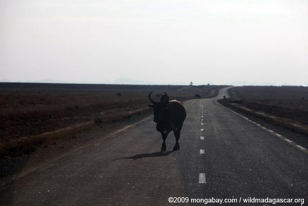 Zebu bull on the RN7 at the Horombe Plateau