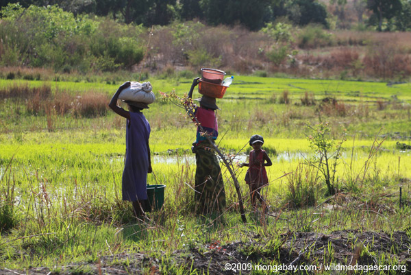 Malagasy women working in rice fields near Isalo