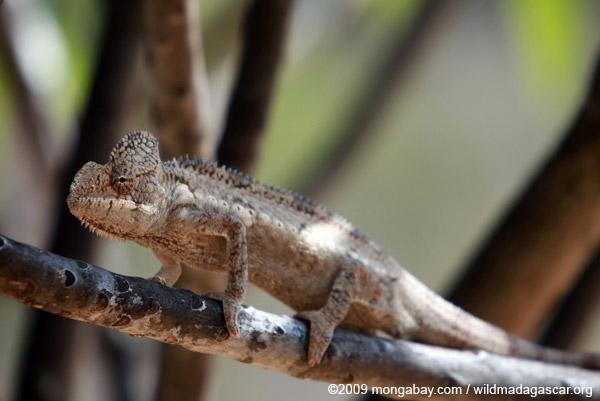 Brown chameleon