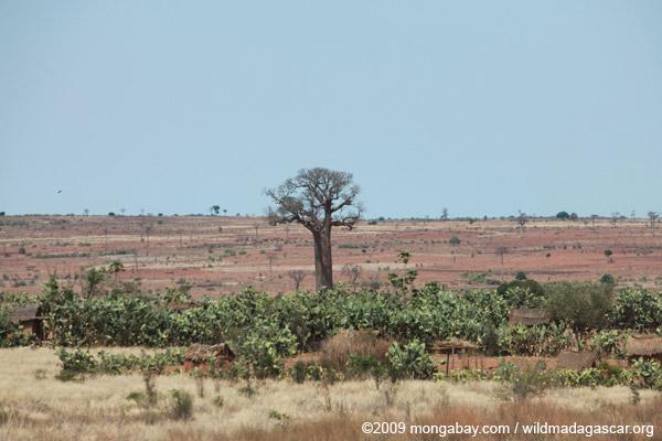 Adansonia za Baobabs