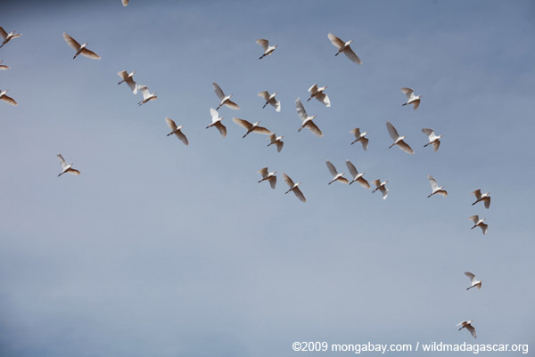 Flock of storks in flight