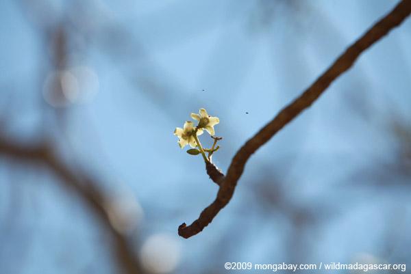 Paederia grevei flower (Tamboro)