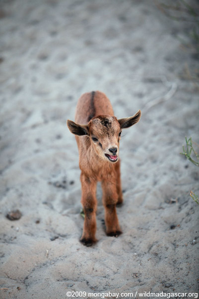 Kid (goat)