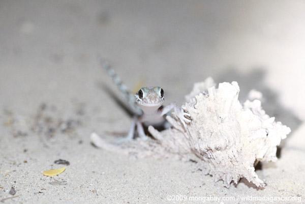 Paroedura bastardi gecko
