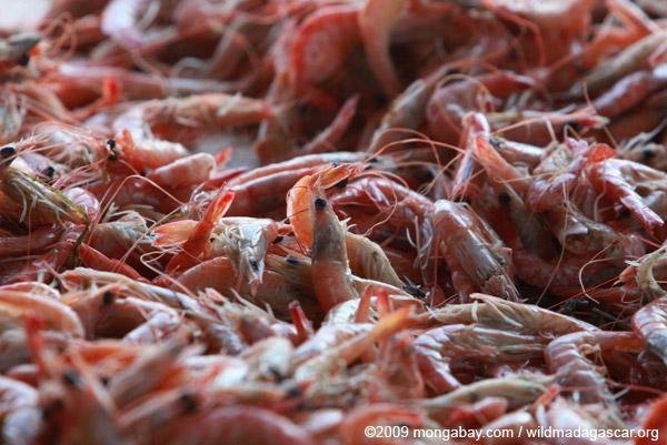 A huge pile of shrimp. Photo by Rhett A. Butler / mongabay.com