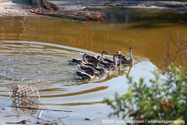 Geese in Madagascar