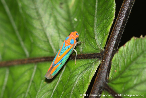 Orange and blue planthopper