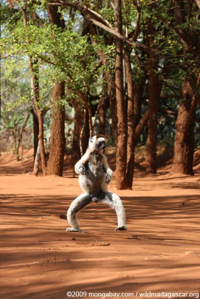 Male Verreaux's Sifaka dancing