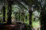 Oil palm plantation -- sabah_2586