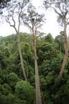 Danum Valley canopy walkway -- sabah_2636