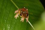 Frog -- sabah_2673