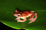 Rhacophorus pardalis tree frog