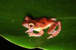 Rhacophorus pardalis tree frog