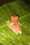 Rhacophorus pardalis tree frog -- sabah_2689