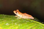 Rhacophorus pardalis tree frog -- sabah_2691