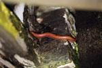 Red millipede -- sabah_2706